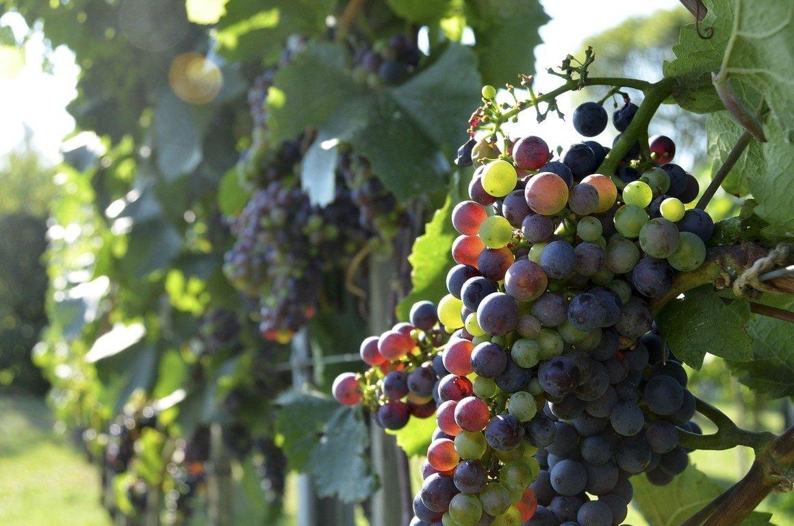 invaiatura e maturazione dell'uva