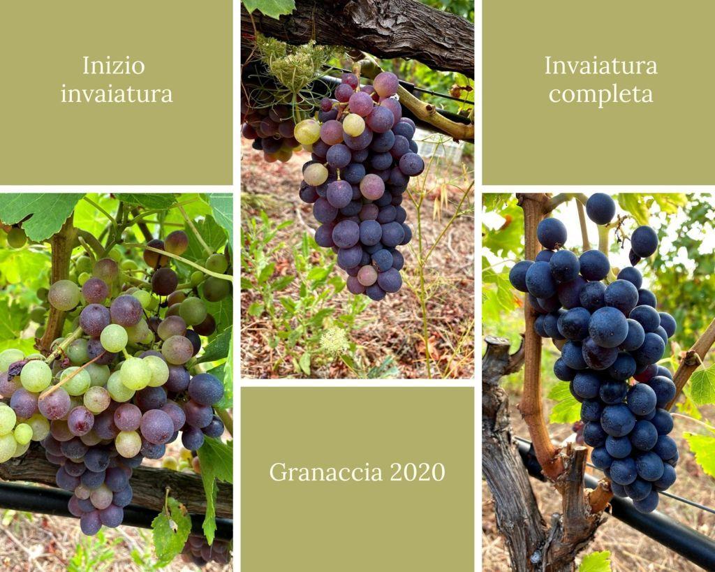 Invaiatura e maturazione uva granaccia